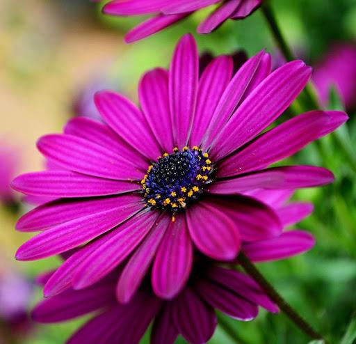 گل استئوسپرموم