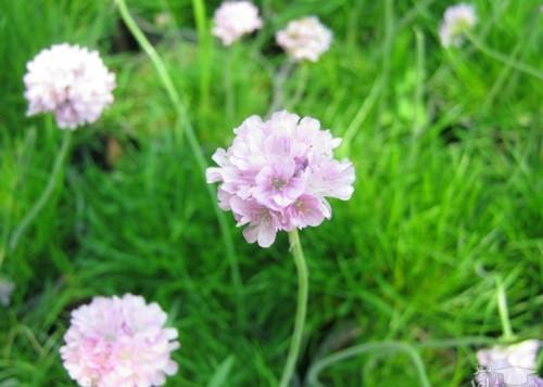 پرورش گل آرمریا