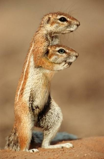 تصاویری شگفت انگیز از حیوانات دو سر