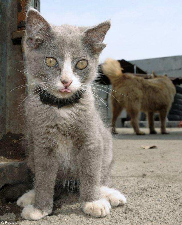 گربه ای در در روسیه که 4 گوش دارد