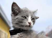 گربه ای در در روسیه که 4 گوش دارد +عکس