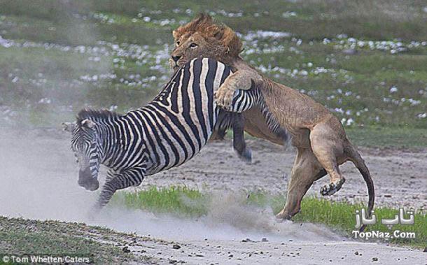 ضربه خوردن شیر از گوره خر