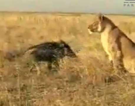 دانلود کلیپ حمله خنده دار گراز به شیر