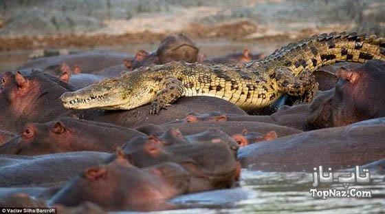 تصاویری جالب از حمله اسب های آبی به تمساح