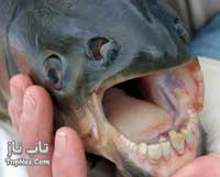 ماهی که دندانهایش شبیه انسان است