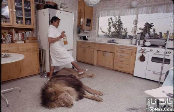 آیا شیر جنگل خانگی دیده اید؟!