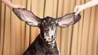 سگی که بزرگترین گوشها را دارد