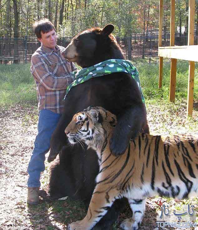 زندگی جالب خرس، شیر و ببر کنار هم