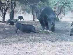 کلیپ حمله شدید کرگدن به گراز