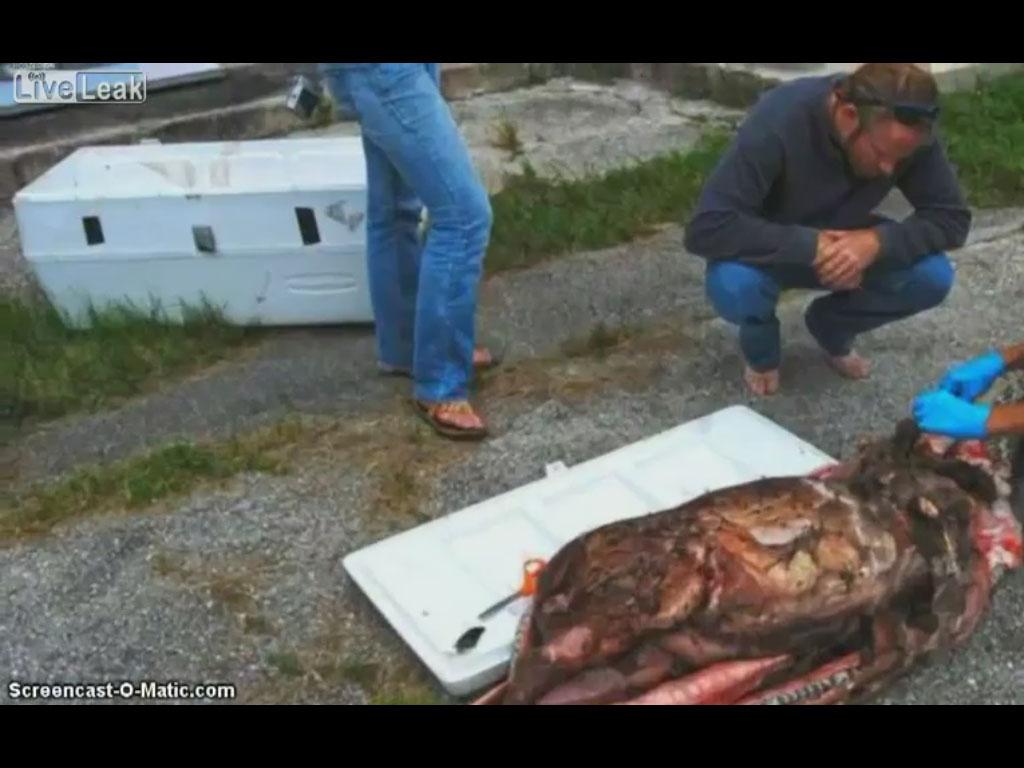 کلیپ جنازه مار غول پیکر و مشاهده گوزن درون شکمش