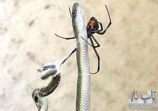 شکار مار و عنکبوت