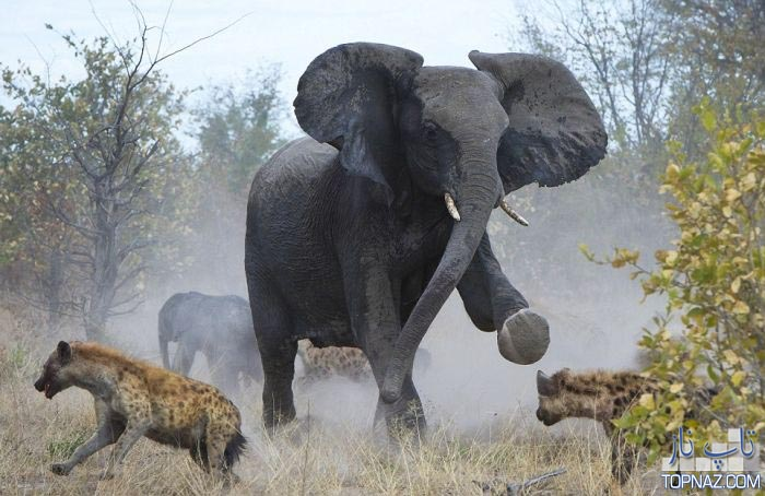 جدال فیل با کفتارها