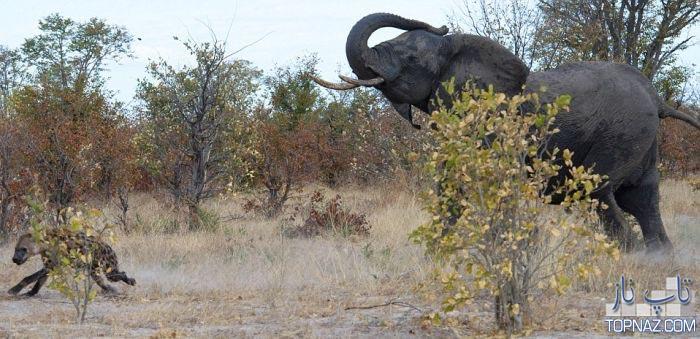 جدال فیل با کفتارها (7 عکس)